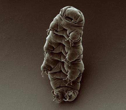 Adult_tardigrade - Goldstein Lab