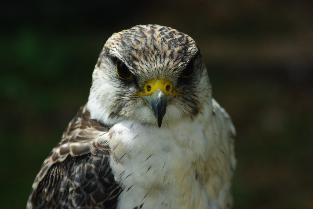 falcon-664895_1280