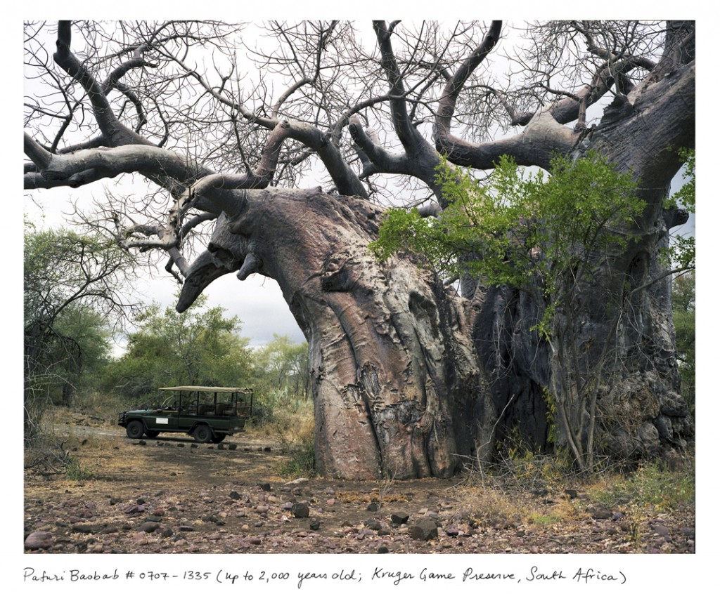 Esse enorme baobá vive na África do Sul há cerca de 2 mil anos.