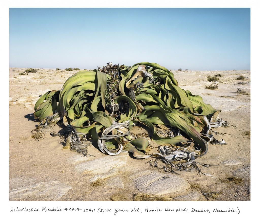 Esse monte de folhas da Welwitschia mirabilis são, na verdade, apenas duas folhas que crescem há 2 mil anos no Deserto da Namíbia.
