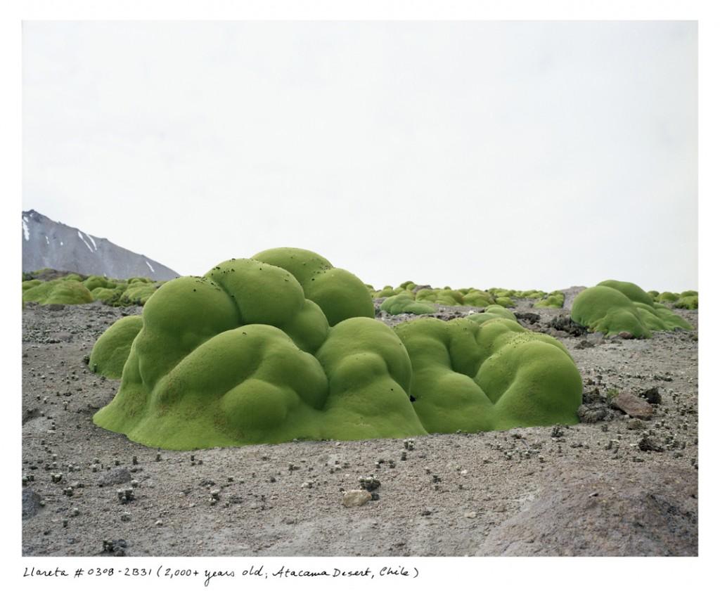As milhares de folhas agrupadas da Azorella compacta fazem com que ela pareça uma rocha verde. Essa habita o Deserto do Atacama, no Chile, há cerca de 3 mil anos.