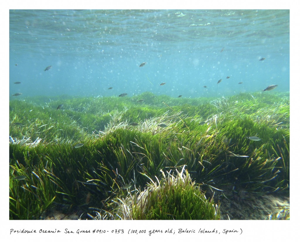 O mar das Ilhas Baleares, na Espanha, abriga uma erva marinha chamada Posidonia oceânica com 100 mil anos.