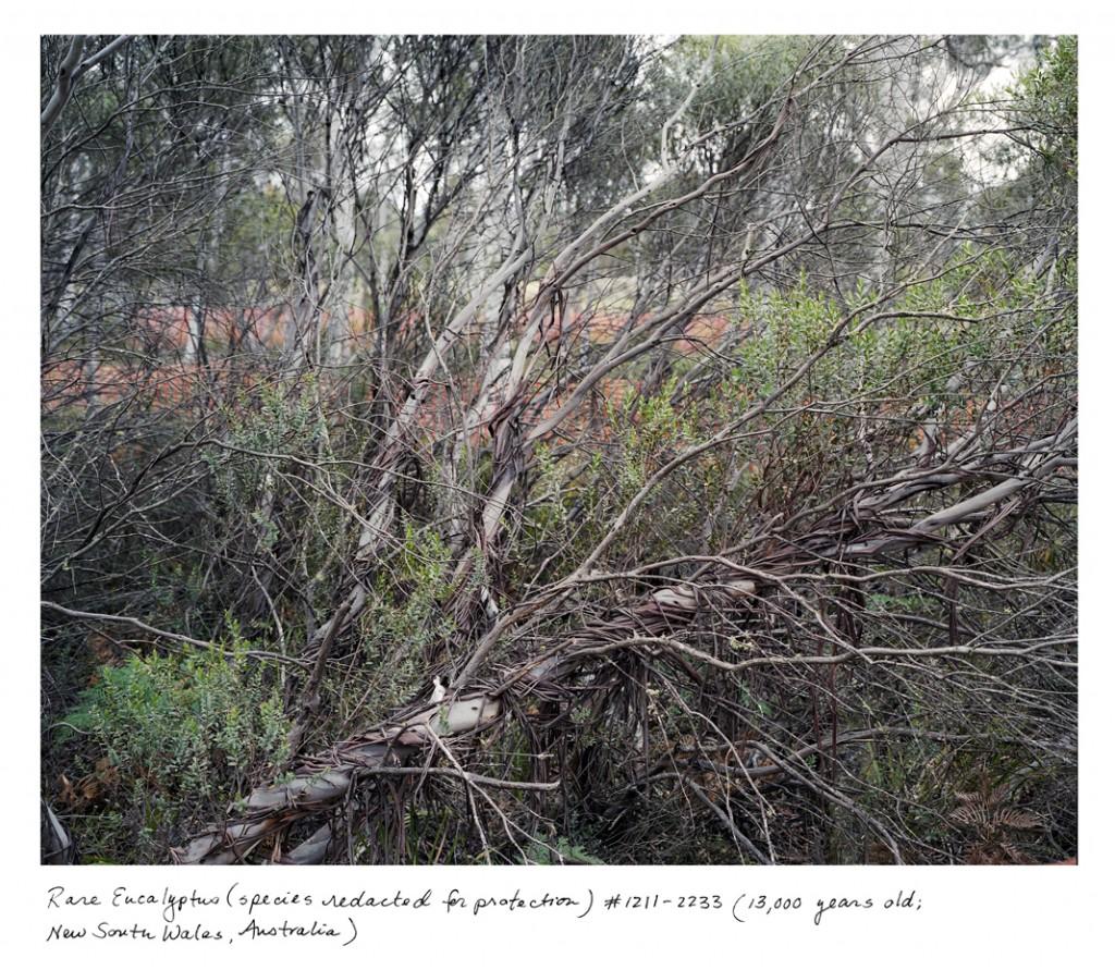 Só tem mais cinco exemplares dessa espécie de eucalipto no mundo – o da foto tem 13 mil anos e vive na Austrália.