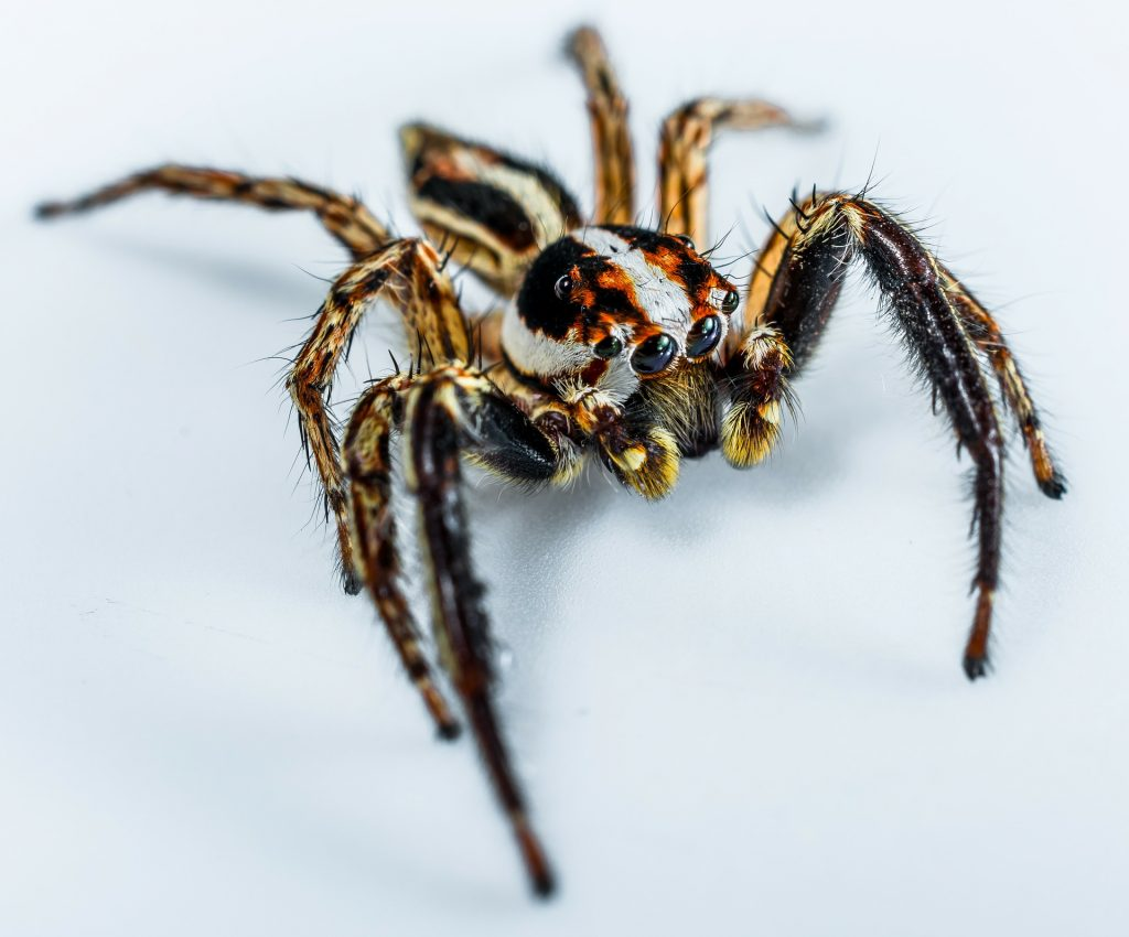 jumping-spider-300442_1920